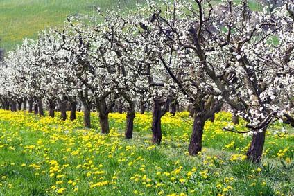 Markgr�flerland Obstbl�te